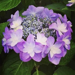 170622_紫陽花.jpg